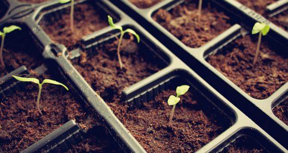 many tomatoe seedlings growing in black pot