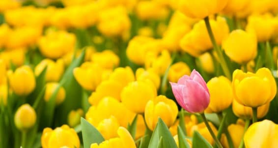 One pink tulip among many yellow ones. Standing out from crowd individuality leadership uniqueness think different and difference concept.