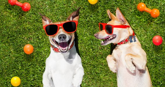 couple of dogs funny and laughing on grass or meadow in park with pet toys all over on summer vacation holidays